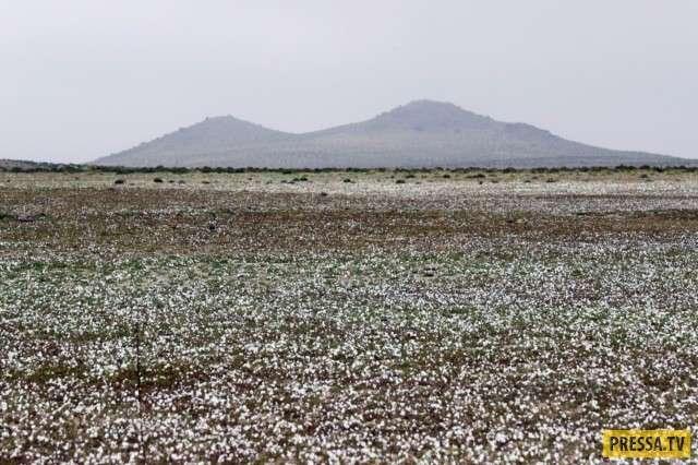 Самое сухое место на планете зацвело (4 фото)