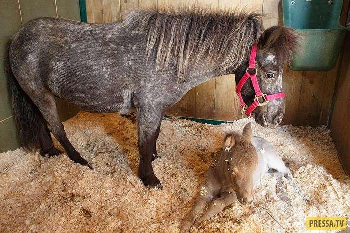 Гулливер - самый маленький в мире жеребенок (11 фото)