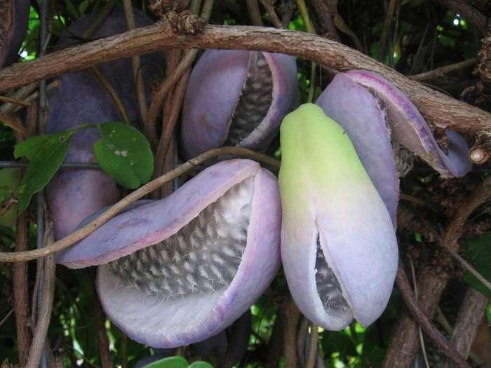 Редчайшие экзотические фрукты-15 фото-