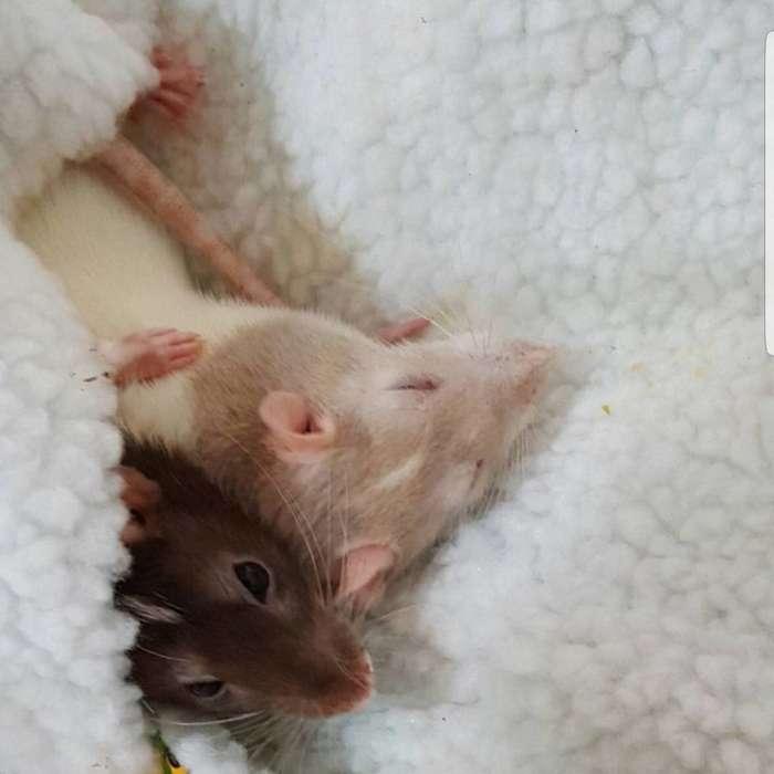 Крыса совершает невероятный прыжок. Удивительные факты о крысах-20 фото-