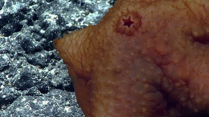 Удивительные глубоководные создания: фотоотчет экспедиции NOAA-17 фото-