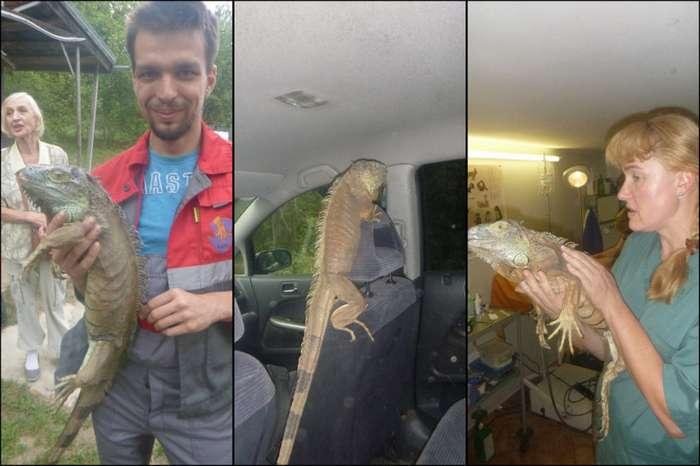 -В огороде динозавр кабачки пожрал!-. Реальная история о спасении потерявшейся игуаны-4 фото-