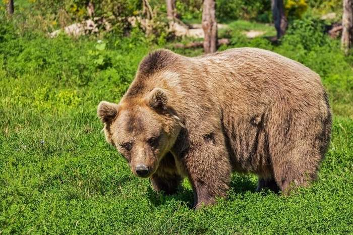 Уральский грибник подрался с медведицей и отправил ее в нокдаун-2 фото-