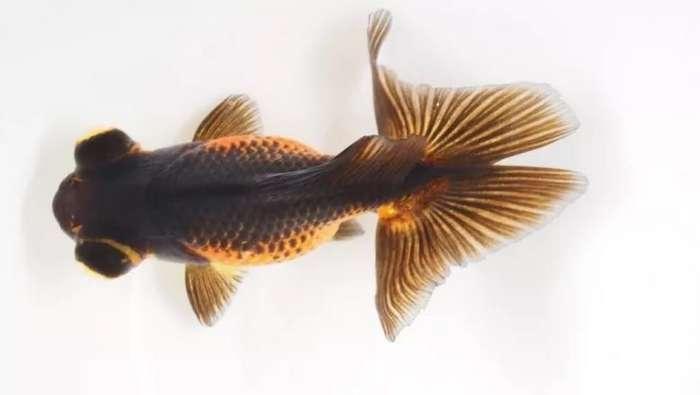 Запои помогают золотым рыбкам месяцами жить без воздуха-2 фото-