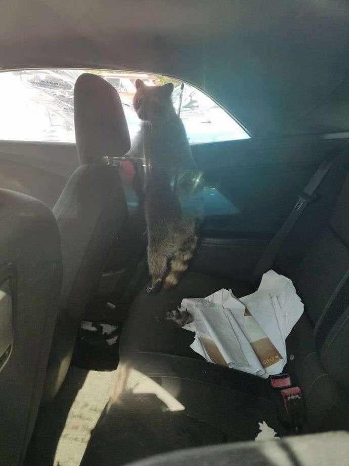 Самка енота забралась в кабриолет, чтобы родить с комфортом-6 фото-