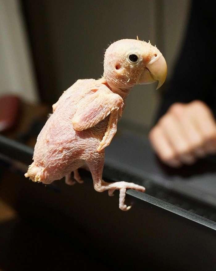 Попугайчики, потерявшие перья, обрели любовь и счастье-12 фото-
