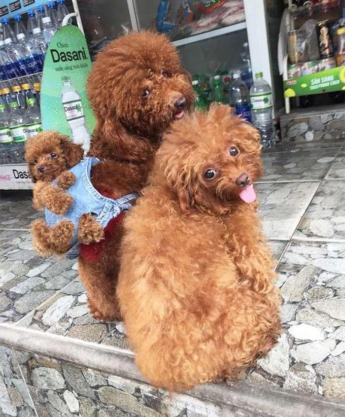 Вьетнамец сшил для своих собак маленький рюкзак, чтобы те носили в нем щенка-10 фото-