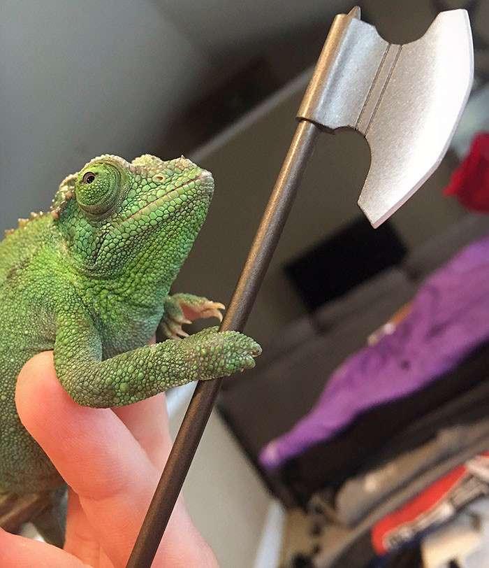 У хамелеонов обнаружили хватательный рефлекс-10 фото-
