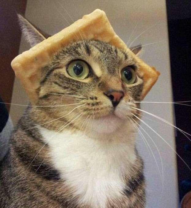 Коты в шляпках - смешнее не бывает!-13 фото-