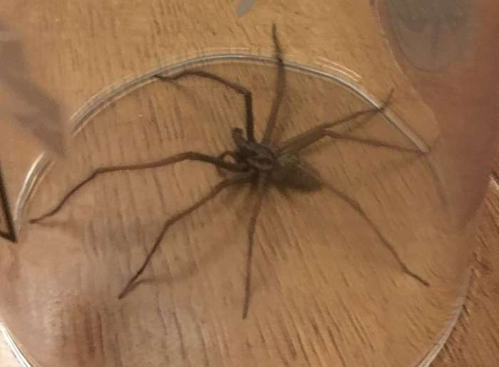 Плохая погода спровоцировала нашествие больших пауков в домохозяйства Великобритании-18 фото-