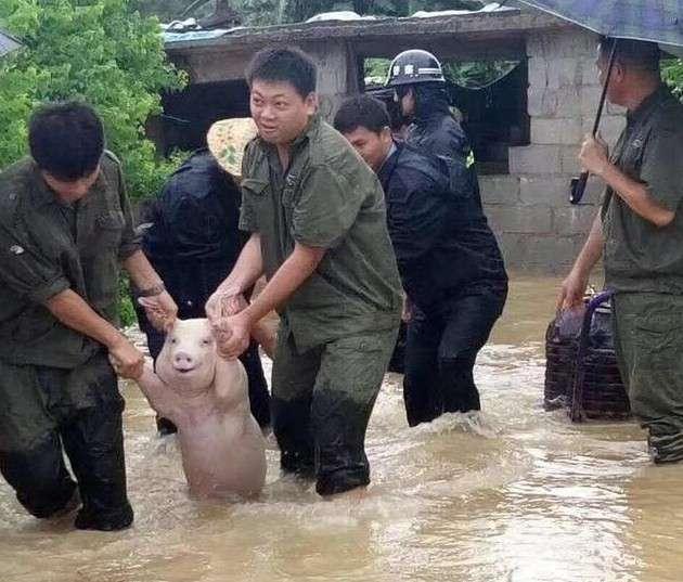 Счастливая свинья, спасенная от наводнения, стала новой звездой битвы фотошоперов-15 фото-