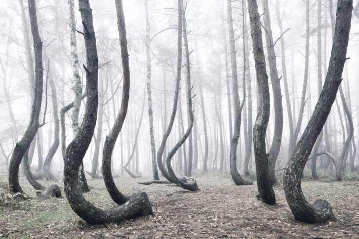 Кривой лес-11 фото-
