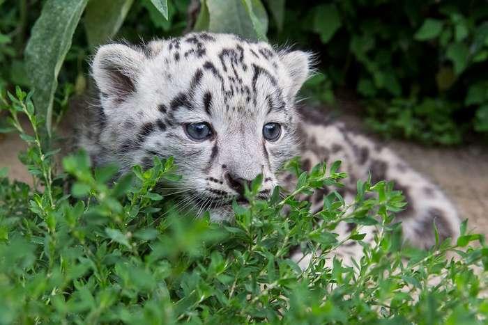 Берлинский зоопарк опубликовал милейшие фото детеныша снежного барса-8 фото + 1 видео-