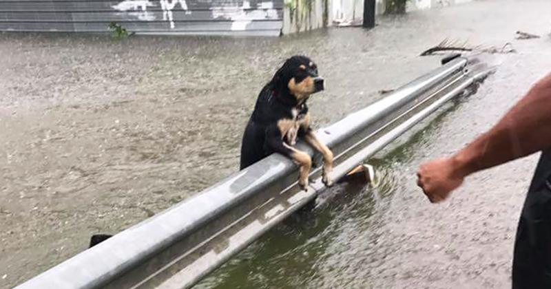 Фотографии собак, брошенных хозяевами на произвол судьбы во время урагана -Харви--4 фото-