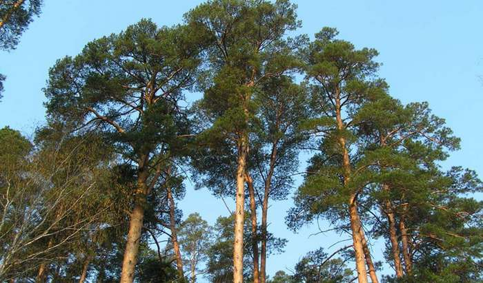 Эти деревья помогут выжить в лесу