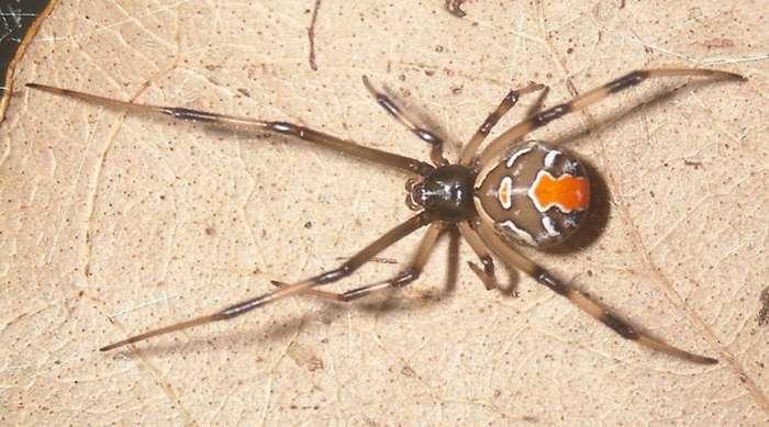 Самые опасные пауки