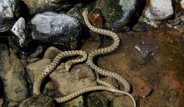 Шахматная змея: описание (6 фото)