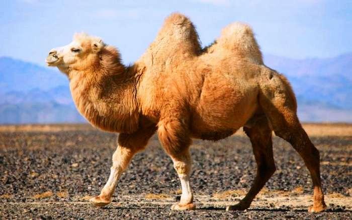 Что скрывает верблюжий горб (8 фото)