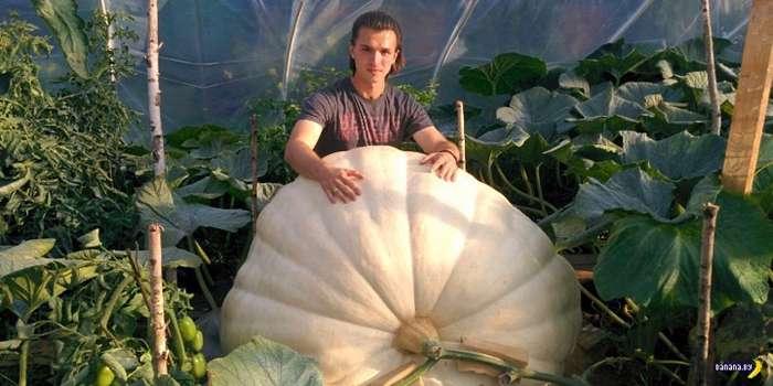 Что надо сделать, чтобы вырастить гигантскую тыкву?