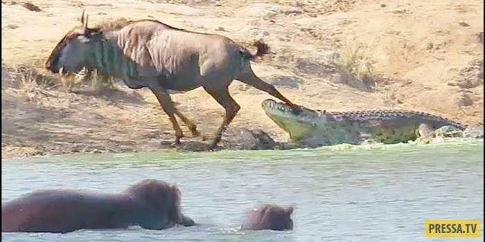 Чудеса, да и только! Бегемоты вырвали антилопу гну из зубов крокодила (фото + видео)