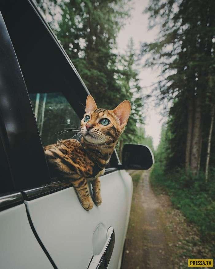 Сьюки – бенгальская кошка, которая живет лучше, чем большинство людей в мире! (32 фото)