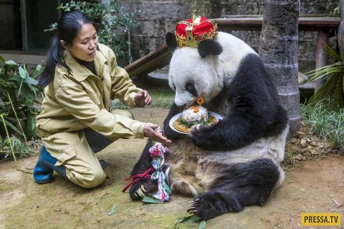 В Китае умерла старейшая в мире панда Баси (7 фото)