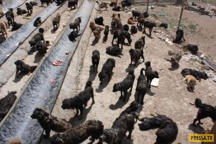 В китайской провинции Цинхай огромное количество бродячих тибетских мастифов (6 фото)