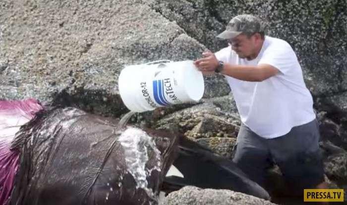 Чудесное спасение умирающей косатки (4 фото + видео)
