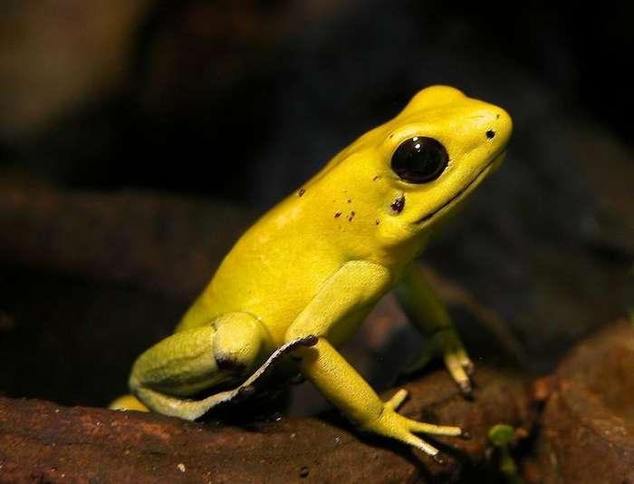 Ужасных листолазов от самоотравления защищает одна мутация-1 фото-
