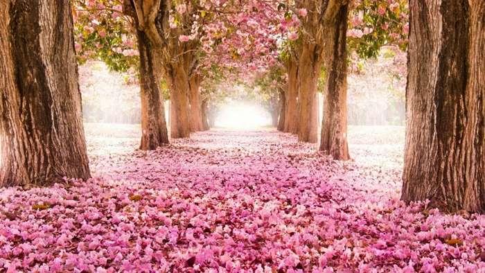 Цветение сакуры в японии-6 фото-