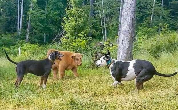 Воспитанный в доме теленок считает себя собакой-9 фото + 1 видео-