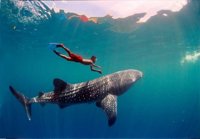 Фотосет Китовой акулы-17 фото-