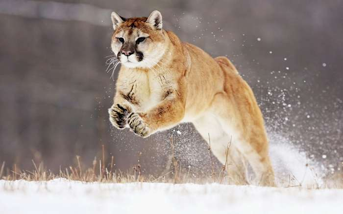 В мире больших кошек-25 фото-