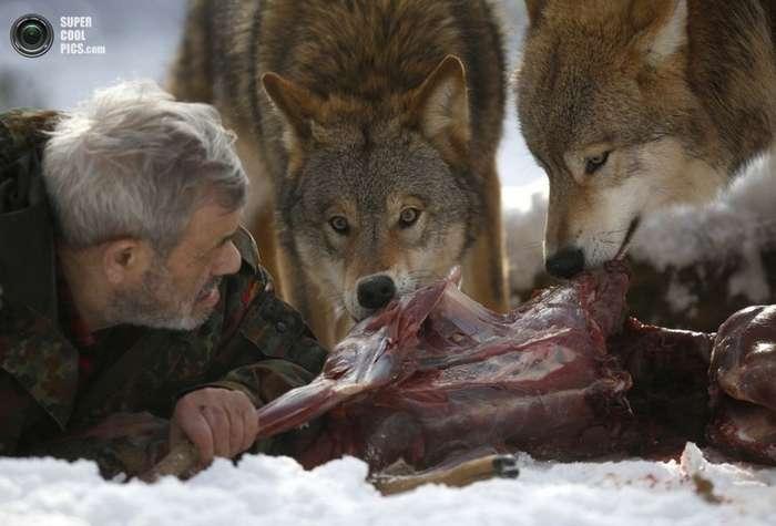 Волки умнее собак: новое исследование-4 фото-