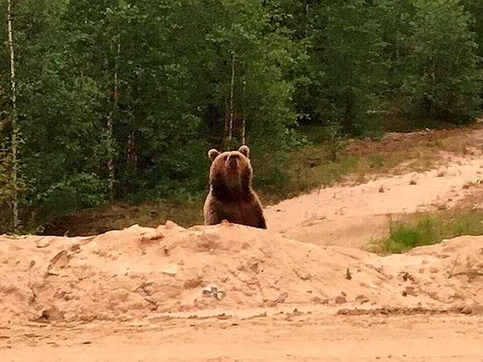 На Ямале медведь растерзал вахтовика-4 фото-