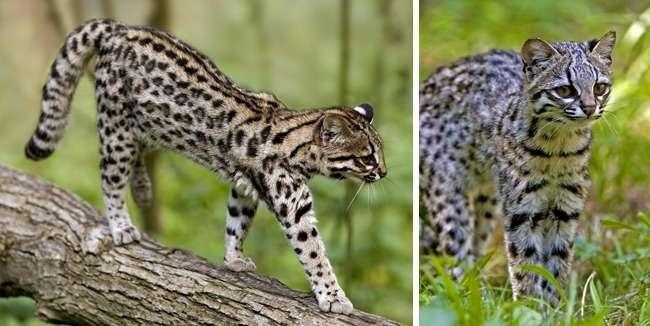 15великолепных диких котов, окоторых выпочти наверняка неслышали