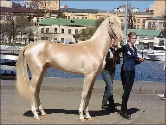 Ахал-Теке: одна из самых красивых лошадей в мире-5 фото + 1 видео-