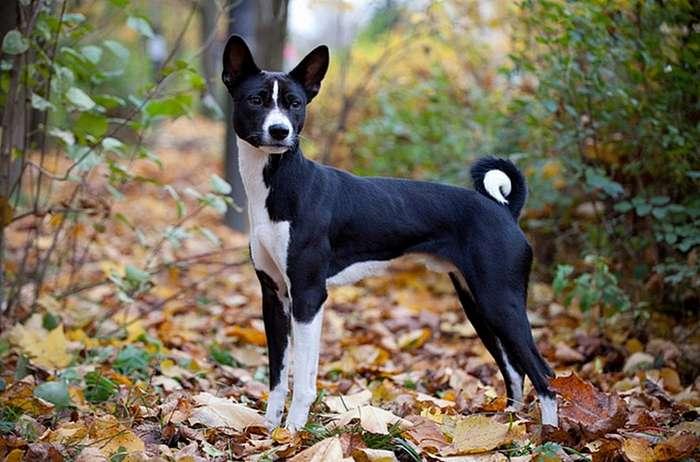 Басенджи - -немая- собака-9 фото-