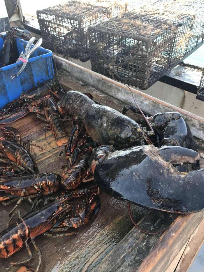 Огромный омар выловлен в Атлантике