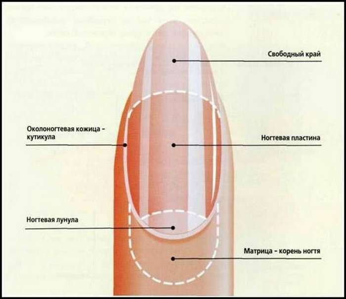 Строение ногтя для маникюра