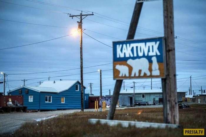 На Аляске белые медведи перебрались поближе к людям (17 фото)
