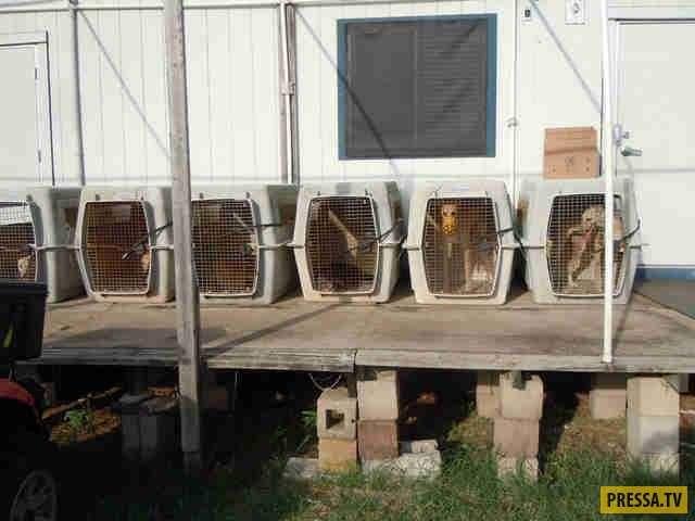 Бесчеловечные методы: в Техасе в жутких условиях разводят собак-доноров, из которых выкачивают кровь (8 фото)