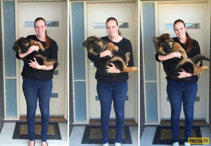 Как быстро вырос щенок немецкой овчарки (6 фото)