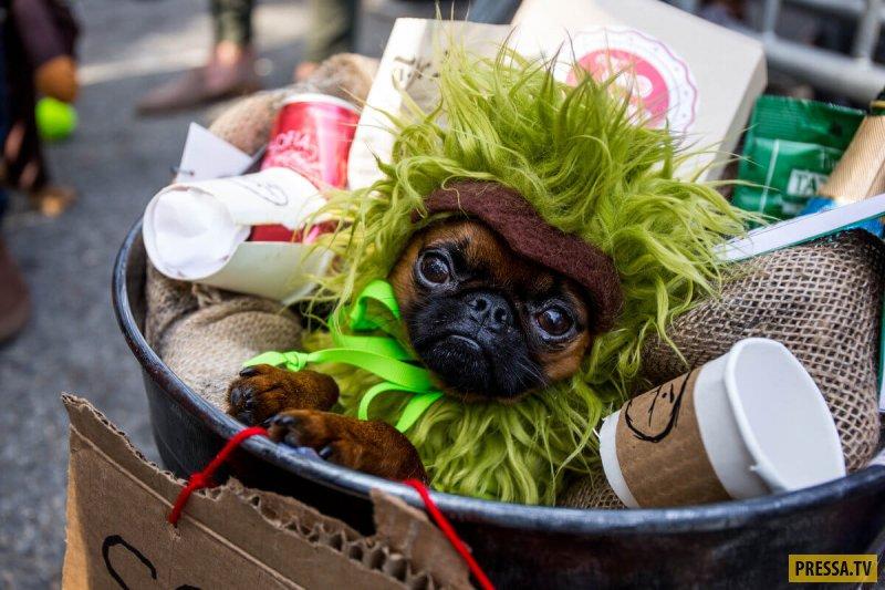 Парад собак на Хэллоуин-2017 в Нью-Йорке (25 фото)
