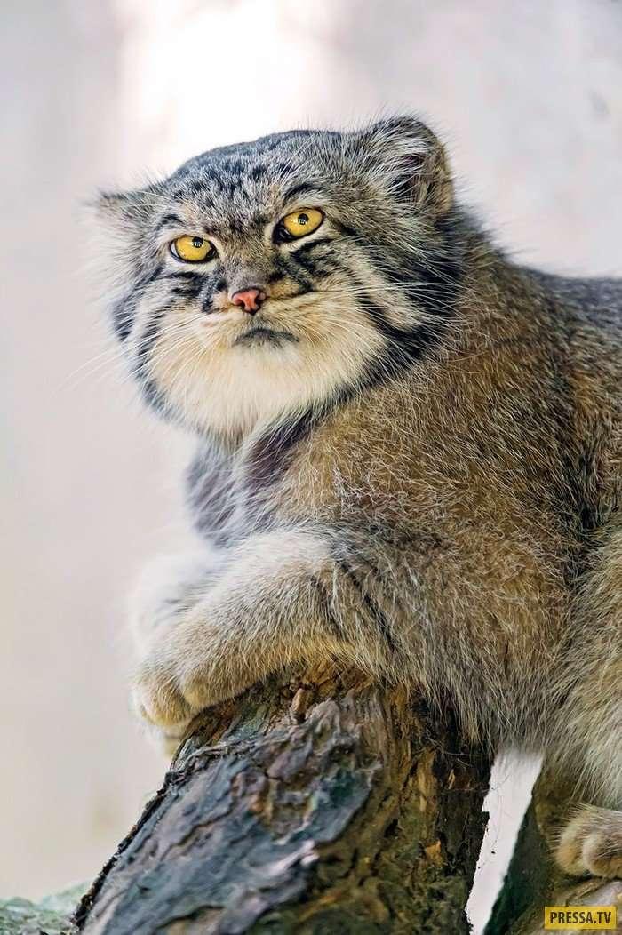 Самые красивые кошки на Земле - манулы близки к исчезновению (17 фото)