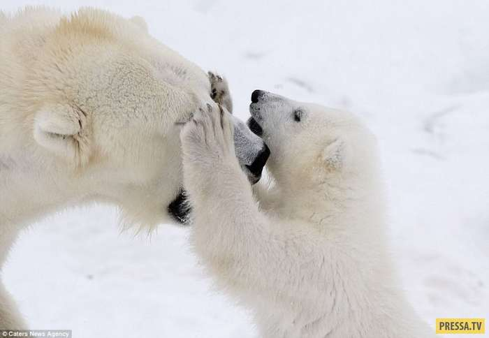 Семейная идиллия: белый медвежонок играет с мамой-медведицей (14 фото)