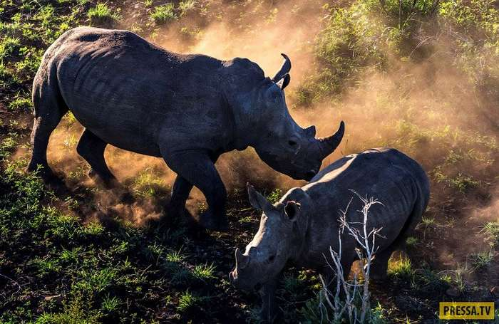 Черные носороги на грани вымирания. Смерть из-за рога (7 фото)