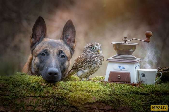 Овчарка и сова - лучшие друзья (15 фото)