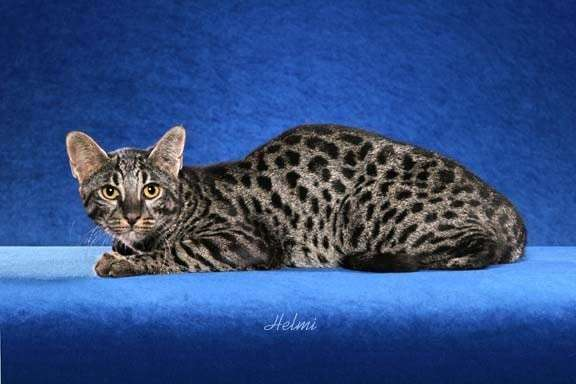 Топ-18 самых дорогих пород кошек-18 фото-
