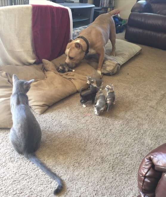 Собачье счастье: питбулю доверили воспитывать котят-8 фото-